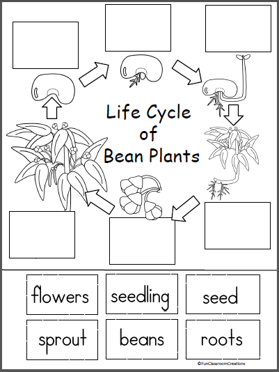 Free Life Cycle of a Bean Plant activity